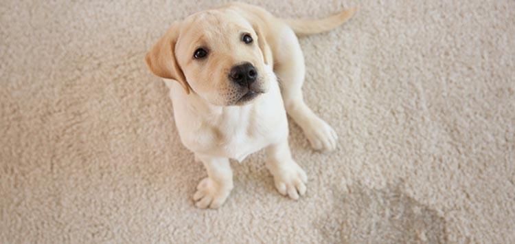 Carpet Cleaning Pet Mess Tricks